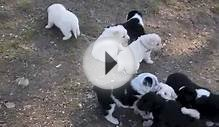 Blonde and black and white Border Collie puppies