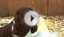Brown & White Cocker Spaniel Female Dog