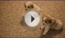 Cavalier King Charles Spaniel Mix Puppiees For Sale