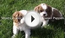 Cavalier King Charles Spaniel Puppies 01