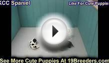 Cavalier King Charles Spaniel, Puppies, For, Sale, In