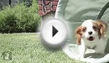 Cavalier King Charles Spaniel Puppies In a Tunnel!