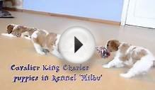 Cavalier King Charles Spaniel puppies playing!