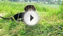 cavalier king charles spaniel puppy - black and tan 2