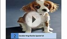 cavalier king charles spaniel rescue
