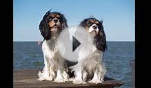 Cavalier King Charles Spaniel - Video Learning