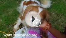 Cavalier King Charles Spaniel, Video, Dog Show, Pet, India