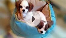 Cavalier King Charles Spaniels Lady and Gracie