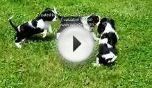 Cavalier King Charles Spaniels Puppies For Sale