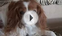 Cavalier King Charles Spaniels, Ripley and Quigley