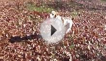 Chester (Brittany Spaniel) Playing Frisbee at the Park