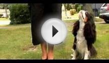 Dogs 101- Cavalier King Charles Spaniel