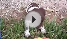 Dublem Gundogs -- Angus -- English Springer Spaniel puppy