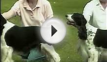 English Springer Spaniel - AKC Dog Breed Series