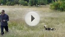 English Springer Spaniel Field Day