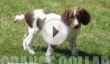 Female Springer Spaniels