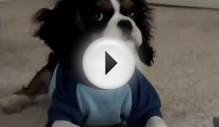 Funny puppy Charlie, Cavalier King Charles Spaniel