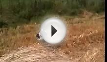 Gundog training - English springer spaniel hunting for shot