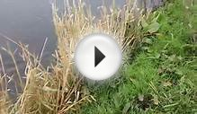 Gundog Training English Springer Spaniel hunting in water