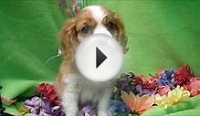 Male Cavalier King Charles Spaniel Puppy
