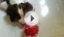 "My Cute 3 Months Old Puppy ""English Springer Spaniel"