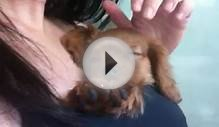 Precious! 8 week old Ruby Red Cavalier King Charles Spaniel
