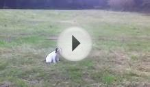 puppy gundog training