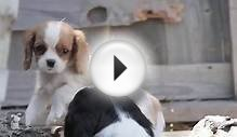 Puppy Love - Cavalier King Charles Spaniels