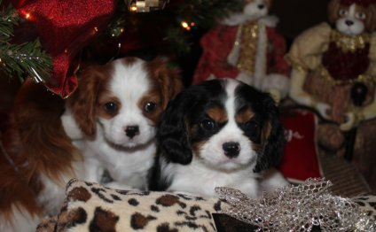 Cavalier King Charles Spaniel Breeders in Alabama