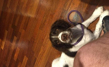 Trained Springer Spaniel for sale