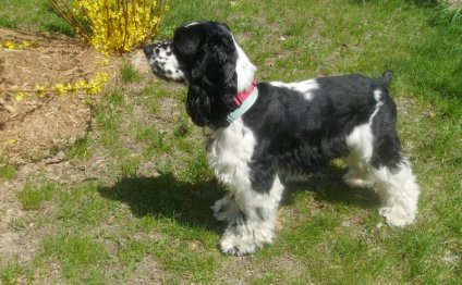 Black and white Cocker Spaniel pictures