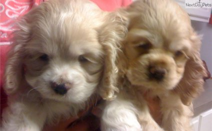 Cocker Spaniel puppies Houston