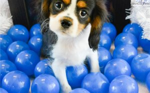 Cavalier King Charles Spaniel puppies Illinois