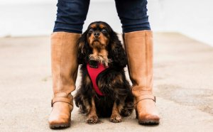 Cavalier King Charles Spaniel Rescue UK