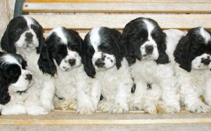 Parti-color Cocker Spaniel puppies