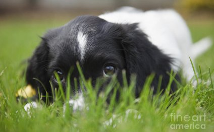 Black white Springer Spaniel